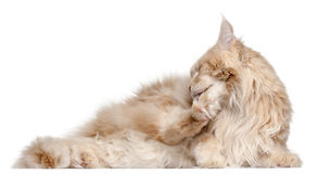 Maine Coon lying Royalty Free Stock Photos
