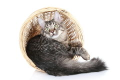 Maine Coon, lying in basket on a white background Royalty Free Stock Photography