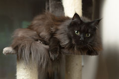 Maine Coon lying in cat house Royalty Free Stock Image