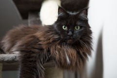 Maine Coon lying in cat house Stock Photos