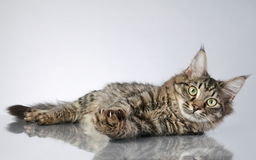 Maine Coon, lying on a grey background Stock Photo