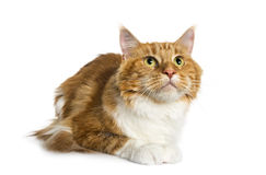 Maine Coon lying (2,5 years old) Royalty Free Stock Image