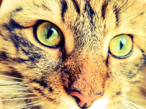 Maine coon lynx cat. Facial close up pedigree maine coon lynx cat with bright green eyes Stock Photo