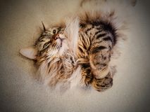 Maine coon lynx cat. Maine coon pedigree cat smiling and rolling around on its back Royalty Free Stock Photos