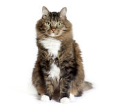 Maine Coon Mix Cat Sitting arkivfoton