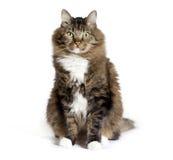 Maine Coon Mix Cat Sitting stock photos