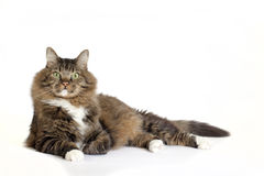Norwegian Forest Cat Mix Laying Royalty Free Stock Photo