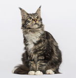 Maine coon (10 months old), on grey Stock Photo
