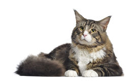Maine coon, 10 months old, lying Royalty Free Stock Images