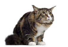 Maine coon, 10 months old, sitting and looking up Stock Images