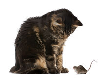 Maine Coon and mouse against white background stock photos
