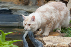 Maine Coon near the pond Stock Photo
