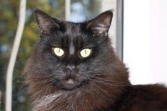 Maine Coon nera con capelli lunghi immagine stock libera da diritti