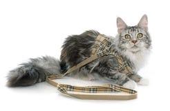 Maine coon nicielnica i kot zdjęcia stock