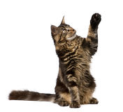 Maine Coon with paw in air, 7 months old Stock Images