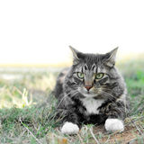 Maine Coon Pet Cat outside on Grass Stock Photography