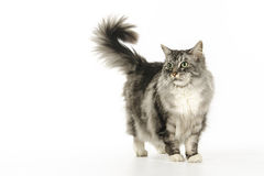 Maine Coon a photographié dans le studio Images stock