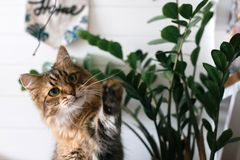 Maine coon playing with paw and looking with funny  emotions at zamioculcas leaves. Cute cat sitting under green plant branches on stock photos