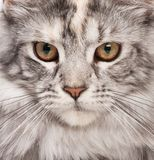 Maine-coon portrait Stock Images