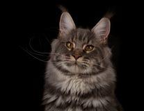 Maine coon portrait Stock Photo