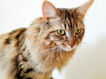 Maine coon portrait Royalty Free Stock Images