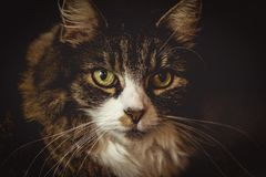 Maine Coon Portrait stock photo