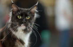 Maine Coon portrait. Pedigree Cat Stock Images