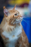 Maine Coon. Portrait of red-haired tabby cat pedigree Stock Photos