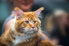 Maine Coon. Portrait of red-haired tabby cat pedigree Stock Photography
