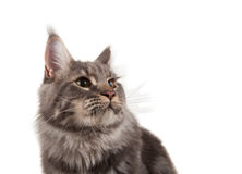 Maine coon portrait Royalty Free Stock Photography