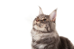 Maine coon portrait Stock Photography