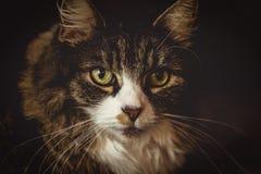 Maine coon portret zdjęcie stock