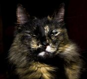 Maine Coon posing indifferently in front of dark red background Stock Photography
