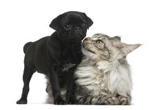 Maine Coon and Pug puppy Royalty Free Stock Photos