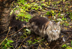 Maine Coon pure breed. Maine Coon boy in forest bed standing in a water pond after drinking Stock Images