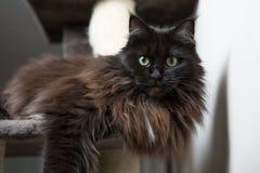 Maine Coon que miente en casa del gato Fotos de archivo