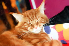 Maine-coon red cat Royalty Free Stock Image