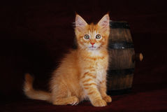 Maine-coon red kitten. Pedigree maine-coon red kitten with surprised eyes Stock Image