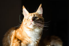 Maine coon red orange cat portrait Royalty Free Stock Image