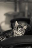 Maine coon relaxing Royalty Free Stock Photography