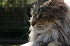 Close up of maine coon cat resting royalty free stock image