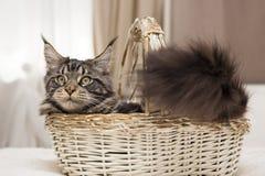 Maine Coon senta-se em uma cesta com um brinquedo Foto de Stock