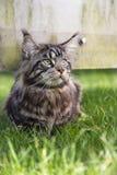 Maine Coon senta-se na grama e olha-se ao lado Imagens de Stock