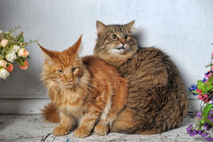 Maine Coon and Siberian cats Royalty Free Stock Photography