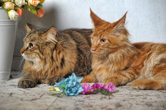 Maine Coon and Siberian cats Stock Photos