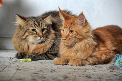 Maine Coon and Siberian cats Stock Photography