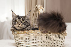 Maine Coon sits in a basket with a toy. Stock Photo