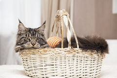 Maine Coon sits in a basket with a toy. Royalty Free Stock Photography