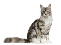 Maine Coon sitting Stock Images