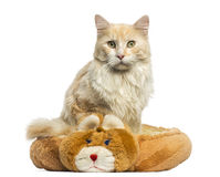 Maine Coon sitting in its bed, looking at the camera Stock Images